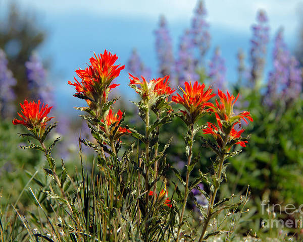 Wild Flowers Poster featuring the photograph Indian Paintbrush by Robert Bales