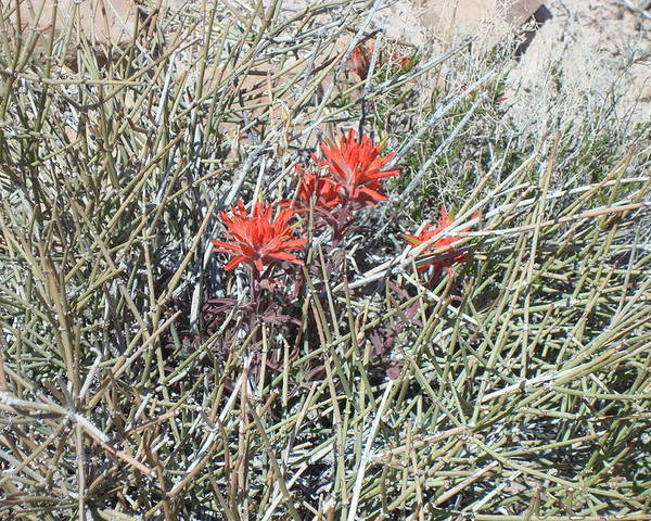 Wildflowers Poster featuring the photograph Indian Paintbrush by Susan Woodward