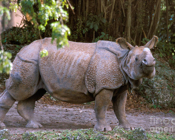 Indian Rhinoceros Poster featuring the photograph Indian Rhinoceros by Mark Newman