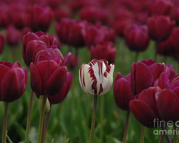 Tulips Poster featuring the photograph It Is Beautiful Being Different by Bob Christopher