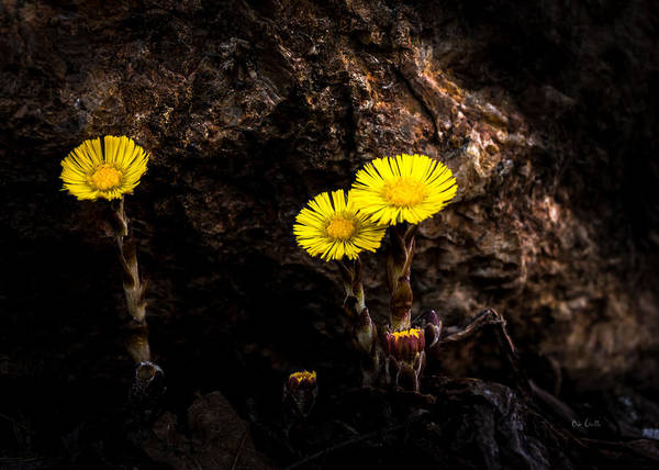 Coltsfoot Poster featuring the photograph It Only Takes A Little Bit Of Light by Bob Orsillo