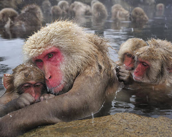 Thomas Marent Poster featuring the photograph Japanese Macaque Grooming Mother by Thomas Marent