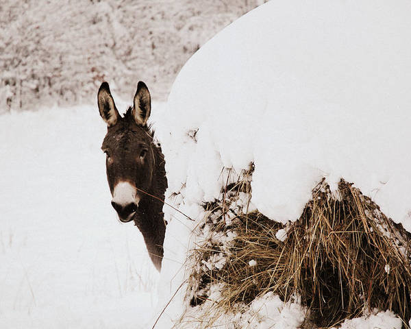 Donkey Poster featuring the photograph Jenny by Cheryl Helms