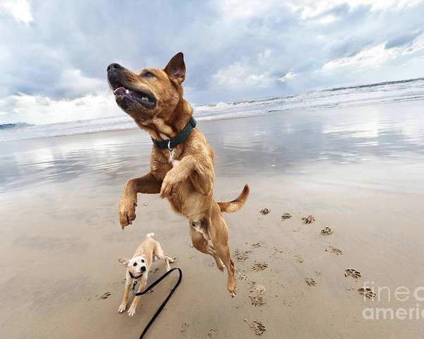 Dog Poster featuring the photograph Jumping Dog by Eldad Carin