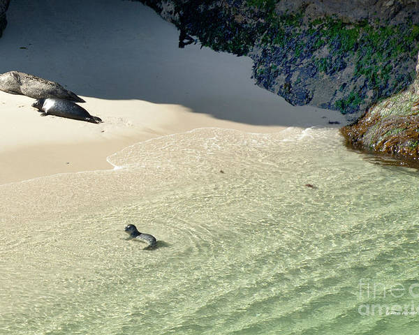 Big Sur Poster featuring the photograph Just Born Baby Sea Lion Pup With Mom And Dad Napping On The Beach by Artist and Photographer Laura Wrede