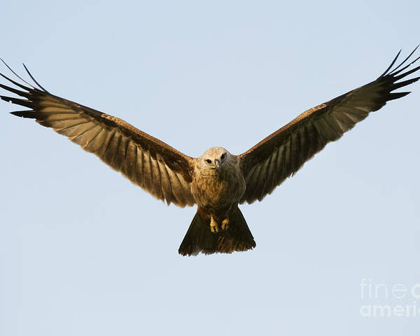Brahminy Kite Poster featuring the photograph Juvenile Brahminy Kite Hovering by Tim Gainey