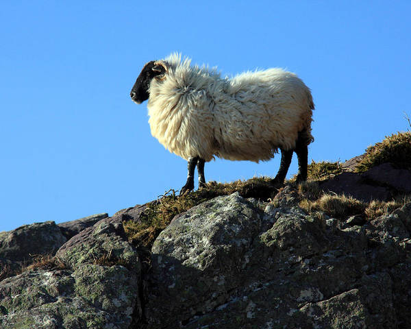 Animal Poster featuring the photograph Kerry Hill Sheep by Aidan Moran