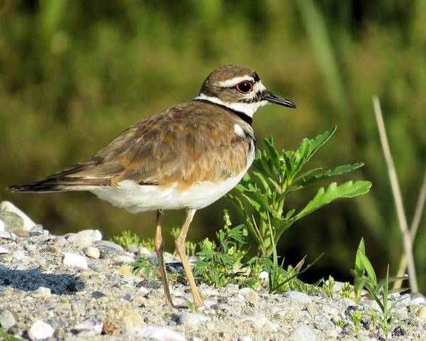 Killdeer Poster featuring the photograph Killdeer by Diane Carlson