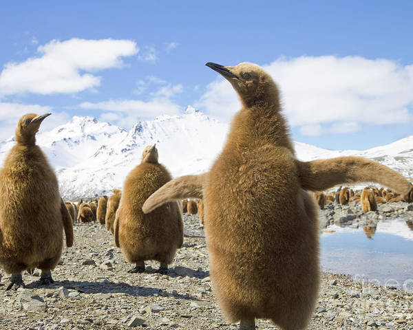 00345959 Poster featuring the photograph King Penguin Chicks by Yva Momatiuk and John Eastcott