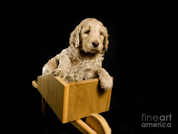 Adorable Poster featuring the photograph Labradoodle Puppy In A Wheelbarrow by Gord Horne