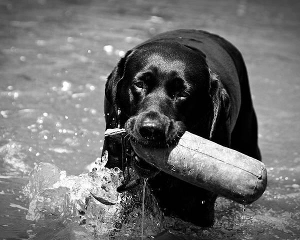 Dog Poster featuring the photograph Labrador Retriever by Emily Bemelmans