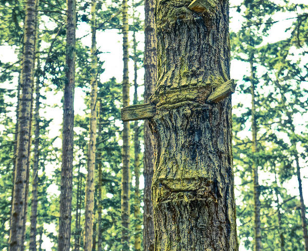Fir Trees Poster featuring the photograph Ladder Tree by Ronda Broatch