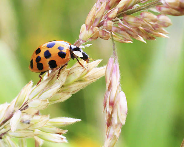 Lady Bug Poster featuring the photograph Lady Bug On A Warm Summer Day by Andrew Pacheco