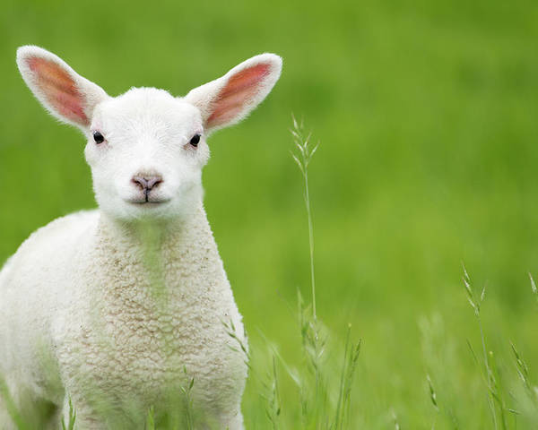Grass Poster featuring the photograph Lamb In A Meadow by Robas