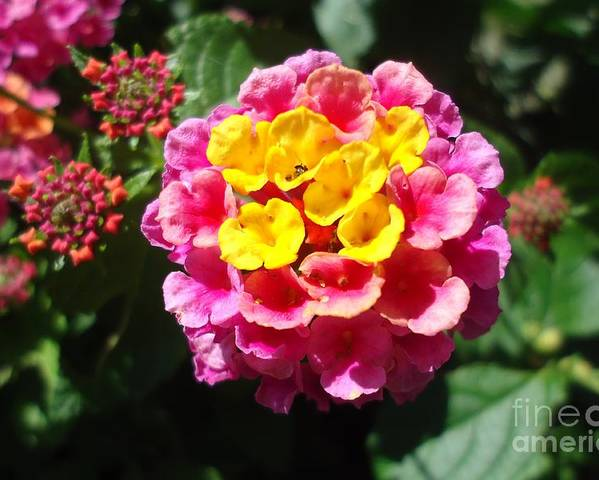 Flower Poster featuring the photograph Lantana Blooms And Buds by Paula Talbert