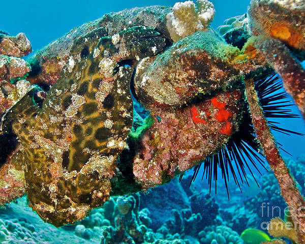 Frogfish Poster featuring the photograph Large Frogfish by Thomas Major