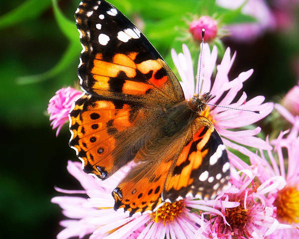 Flower Poster featuring the photograph Late Summer Painted Lady by Marilyn Hunt