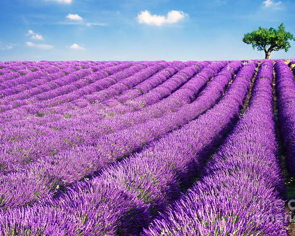 Agriculture Poster featuring the photograph Lavender Field And Tree In Summer Provence France. by Matteo Colombo