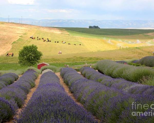 Lavender Poster featuring the photograph Lavender Valley by Carol Groenen