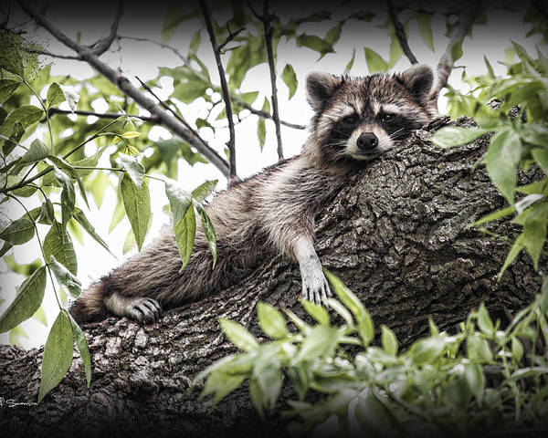 Raccoon Poster featuring the photograph Lazy Day by Jeff Swanson