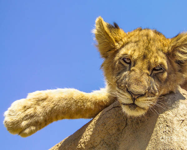 Lion Poster featuring the photograph Lazy Lion by Diane Diederich