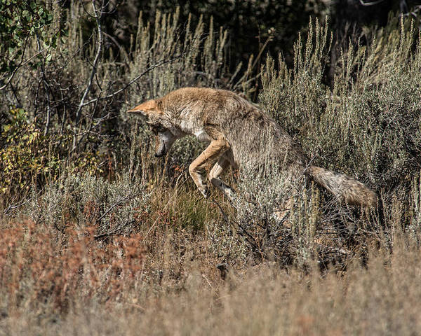 Coyote Poster featuring the photograph Leaping Coyote by Yeates Photography