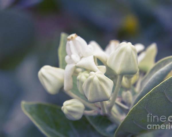 lei pua kalaunu crown flower calotropis gigantea asclepiad