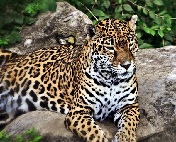 Leopard Poster featuring the photograph Leopard At Rest by Marty Koch