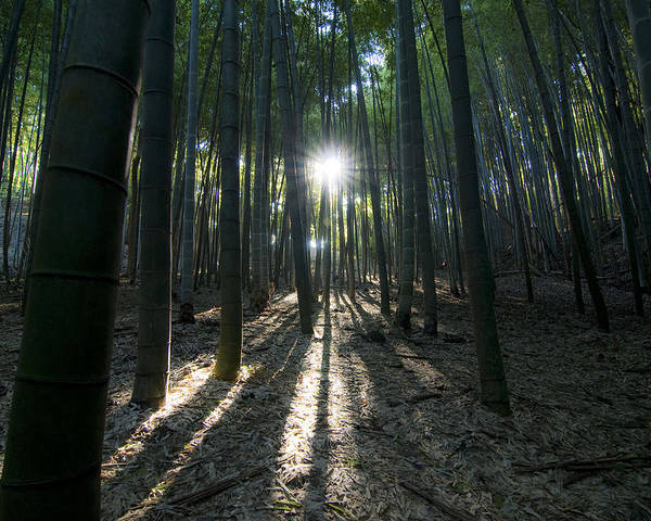 Bamboo Poster featuring the photograph Light At The End by Aaron Bedell