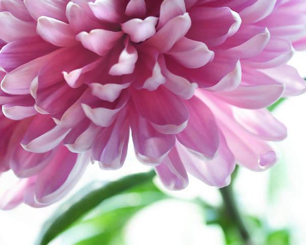 Chrysanthemum Poster featuring the photograph Light Impression. Pink Chrysanthemum by Jenny Rainbow