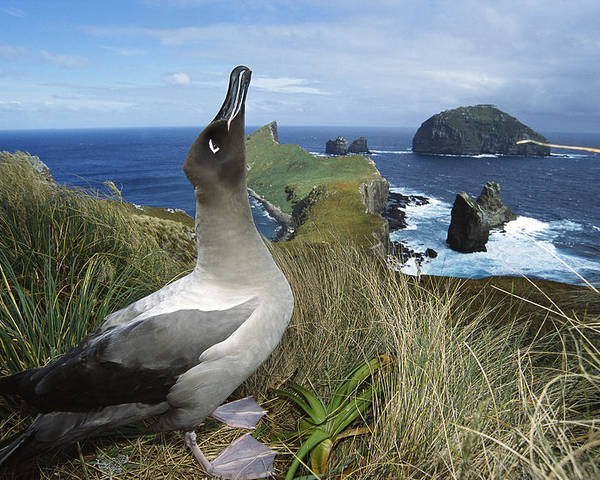 Feb0514 Poster featuring the photograph Light-mantled Albatross Sky-pointing by Tui De Roy