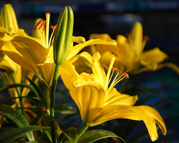 Lilly Poster featuring the photograph Lillies Of Gold by Billie Colson