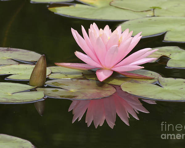 Waterlilly Poster featuring the photograph Lilly And Reflective Beauty by Deborah Benoit