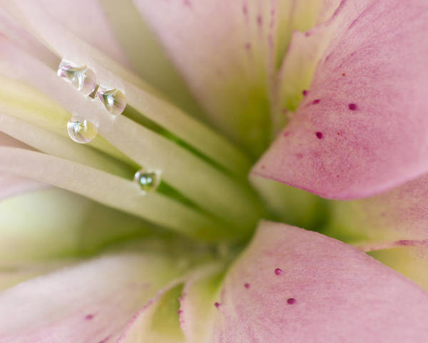 Filament Poster featuring the photograph Lily And Raindrops by Melanie Viola