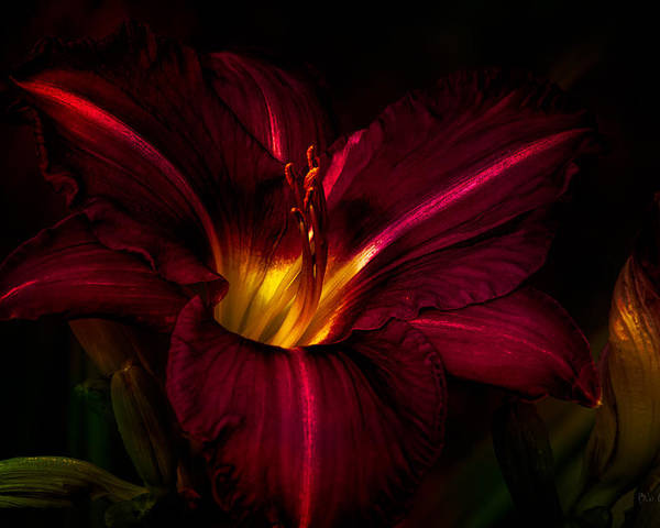 Lily Poster featuring the photograph Lily Number Nine by Bob Orsillo