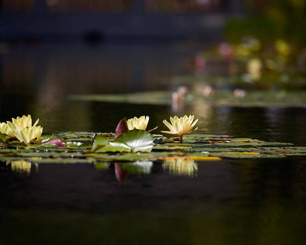 Waterlily Poster featuring the photograph Lily Pond by Peter Tellone