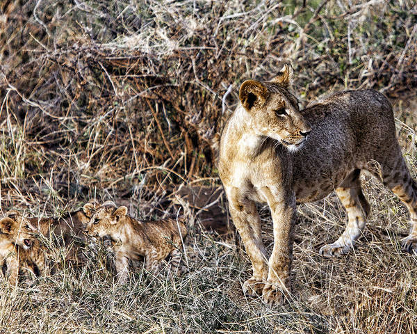 Lion Mother Mom Babies Cubs Pride Kenya Africa Poster featuring the photograph Lion Pride by Wendy White