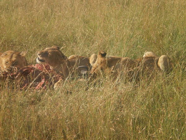 Lions In The Wild Poster featuring the pyrography lions in the Maasai Mara park in kenya by Samuel Ondora
