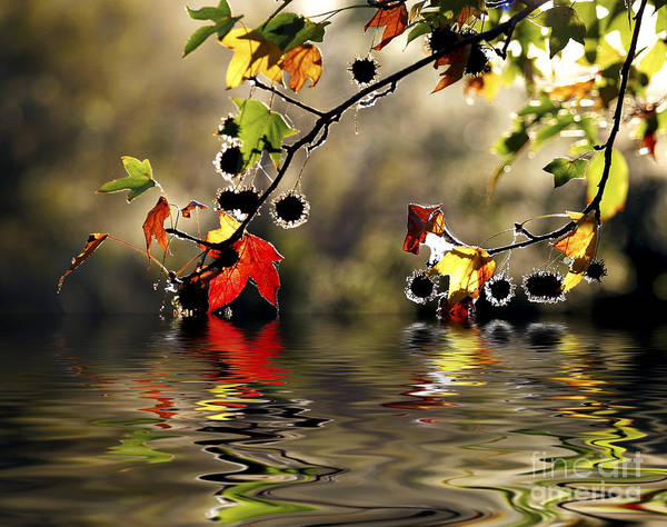 Liquidambar Maple Autumn Fall Flood Water Reflection Poster featuring the photograph Liquidambar In Flood by Sheila Smart Fine Art Photography