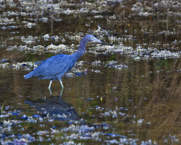 Sanibel Poster featuring the photograph Little Blue Heron by Gary Hall