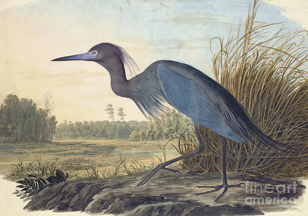 Pecking Poster featuring the drawing Little Blue Heron by Celestial Images