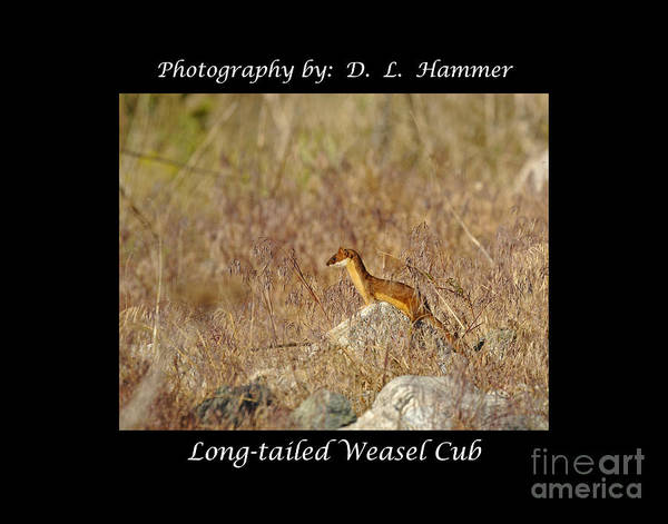 Wildlife Poster featuring the photograph Long-tailed Weasel Cub by Dennis Hammer