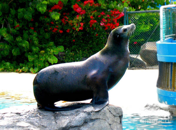 Sea Lion Poster featuring the photograph Look At Me by Kristine Merc