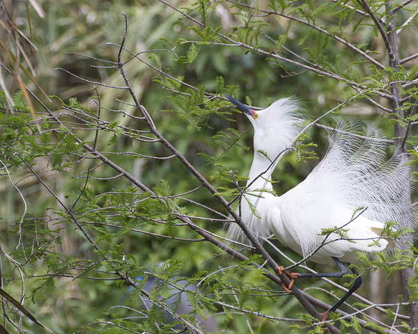 Snowy Egret Poster featuring the photograph Looking Up by MaryAnn Barry