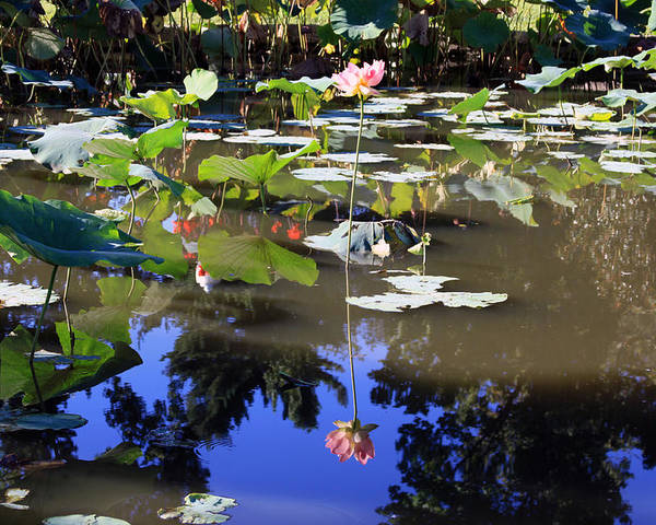 Garden Pond Poster featuring the photograph Lotus Reflection by John Lautermilch