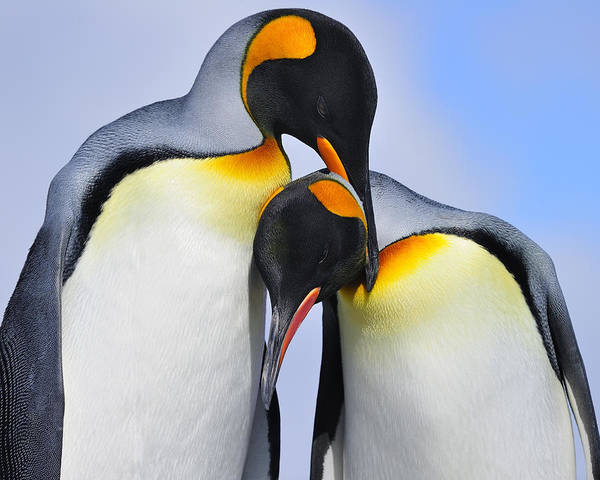 King Penguin Poster featuring the photograph Love by Tony Beck