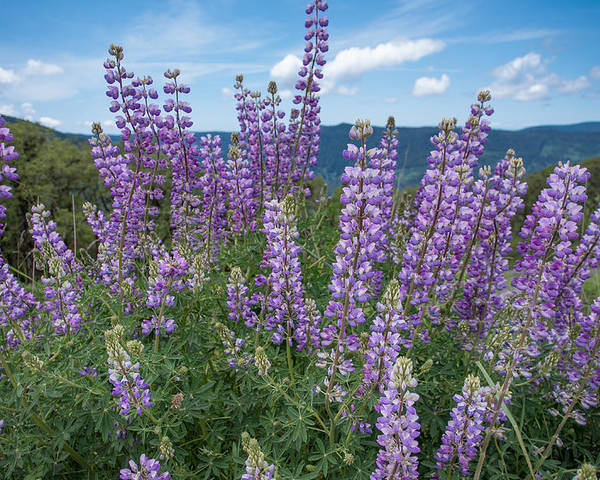 Lupine Poster featuring the photograph Lupine Blooms Of Bald Hills by Greg Nyquist