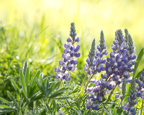 Lupine Photograph Poster featuring the photograph Lupine Light - Casper Mountain - Casper Wyoming by Diane Mintle