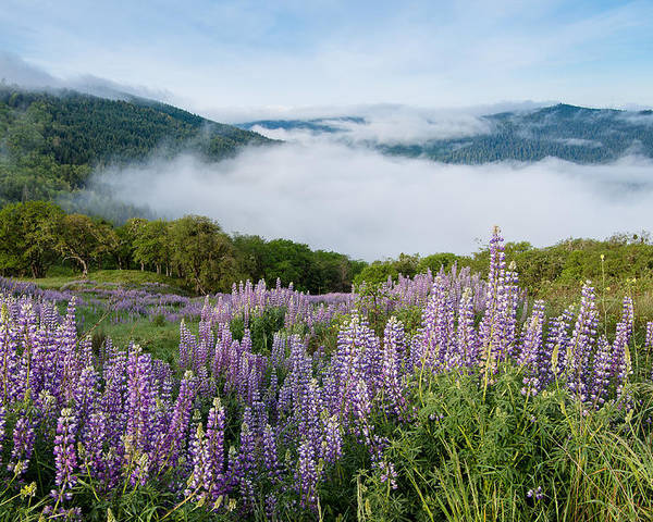 Lupine Poster featuring the photograph Lupine Of Bald Hills by Greg Nyquist