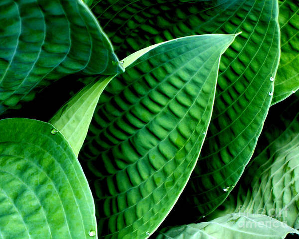 Hosta Poster featuring the photograph Lush by Valerie Fuqua